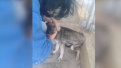 abused-dog-screams-in-terror-when-he-experiences-his-first-pat-but-new-carer-perseveres